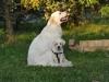 Demi i młody labrador